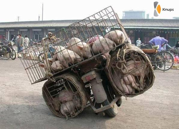 varkensvervoer