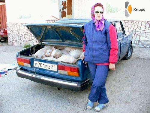 goedkoop biggen en varkens vervoer