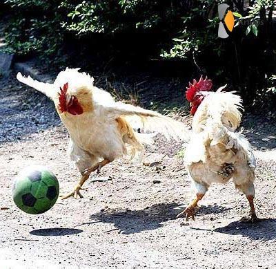 potje voetballen met kippen