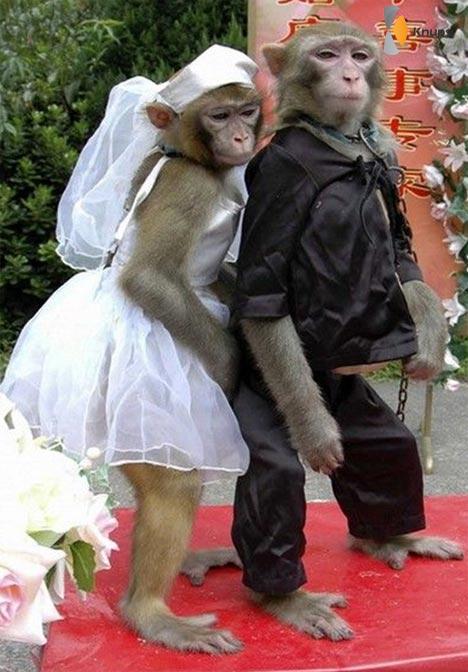 getrouwde apen