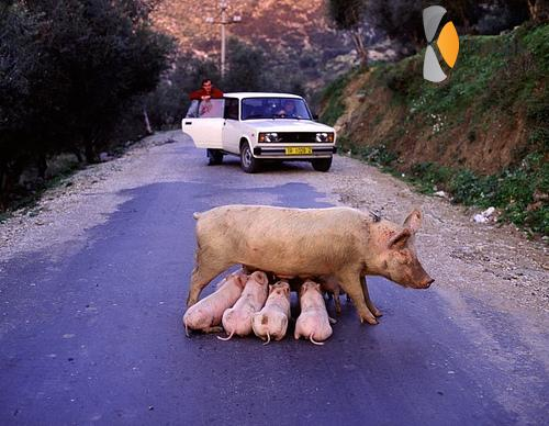 varken op de weg