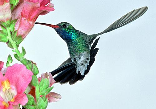 kolibrie achteruit