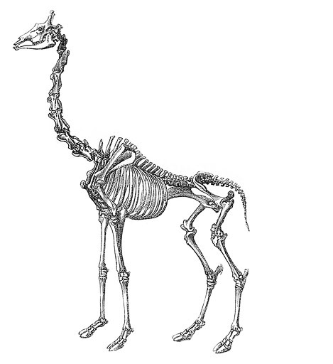 skelet giraffe