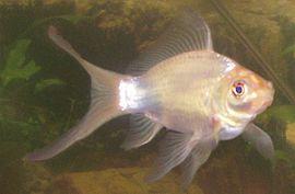witte goudvis